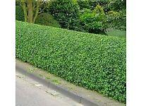 Boxwood hedging plants