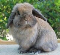 Wanted: dwarf rabbit or holland lop rabbit  with cage for free