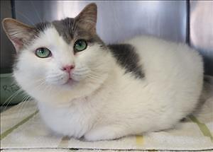 "Adult Female Cat - Domestic Short Hair: ""Buttercup"""