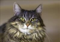 "Senior Female Cat - Domestic Long Hair: ""Katie"""