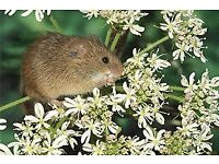 Harvest Mice for Sale