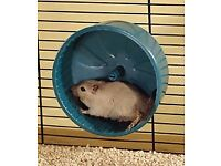 Two small gerbils