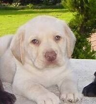 Yellow chocolate nose labrador puppy WANTED Armadale Armadale Area Preview