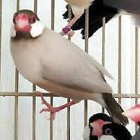 Fawn Java Sparrow