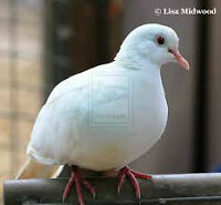 looking for a white ringneck dove