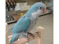 stunning baby quaker parrots blues males and females 12 weeks old with papers