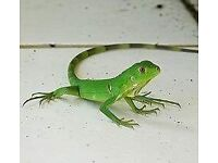 Iguana with Full Setup- Can Deliver