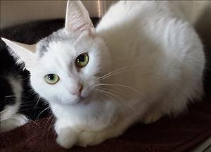 """Young Female Cat - Domestic Short Hair: """"Veronica"""""""