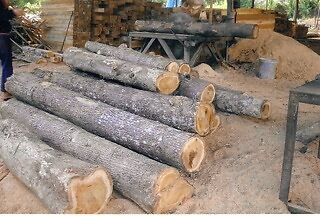 - Naturally Grown Burmese Teak Harvested in Lao large quantities available