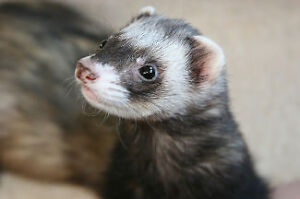Beautiful ferret and small cage 4 sale $175