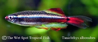 "(6) 1"" Long Fin White Cloud TR Tanichthys albonubes Live Freshwater Tropical"