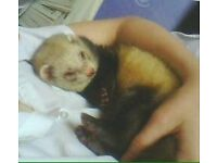 YOUNGE FRIENDLY FERRETS JILL AND HOB