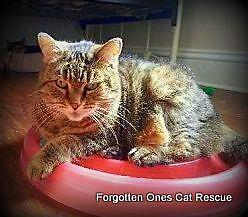 """Adult Female Cat - Domestic Short Hair: """"Holly(Bonded to J.J.)"""""""