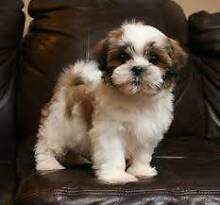 WANTED - Maltese Shih Tzu Puppies Randwick Eastern Suburbs Preview