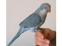stunning baby blue quaker parrots 12 weeks old males and females with hatching certificates