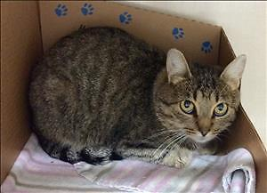 "Adult Female Cat - Domestic Short Hair: ""Mollie - Chi Chi"""
