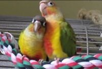 Looking for a proven pair of green cheek conures