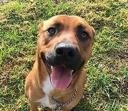Staffy X (Belinda) is ready for adoption