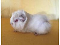 Peruvian Male Guinea Pig