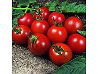 """Tomato - Alicante - 1Lt 13cm 5"""" Pots £1.00 each"""