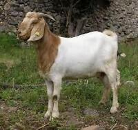 Recherche chèvre BOER