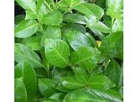 Laurel -Prunus Rotundifolis - Bare Root