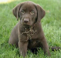 PUREBRED CHOCOLATE LABRADOR PUPPIES CKC REG`D