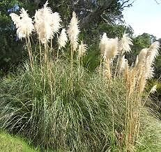 Pampas Grass for sale, architectural plant, stunning looking & easy to care for!