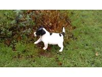 Beautiful Jack Russell Puppy