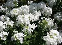 Phlox plants-tall white, tall Amethyst