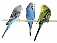 Budgies forsale