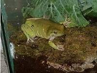 Pair of whites tree frogs