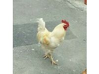 Chicken for sale