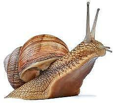 Snails, Helix Aspersa
