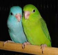 Final Baby Parrotlet's  before Christmas Get Ur deposit In today