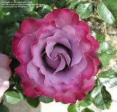 ROSES NURSERY - STANDARD ANGEL FACE ROSE BUSHES - ALL $45.00 EACH Cannington Canning Area Preview