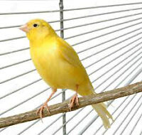 Yellow Canary!