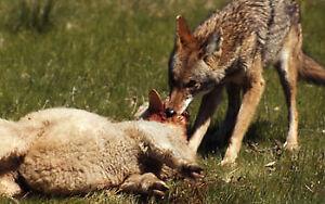 Predator/Nuisance Wildlife removal: farm,land,livestock,barn,