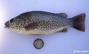 Fish for aquarium,pond or dam Spangled Perch Caboolture Caboolture Area Preview