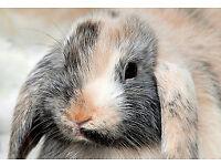 baby dwarf lop rabbits.