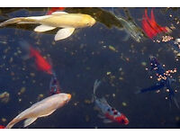 Koi Carp 2-3 3-4 4-5 5-6 12-14 Inches healthy and very friendly for sell