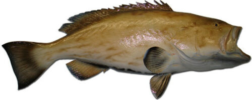 3 Reef Half Sided Fish Mount Combo Package - Grouper, Snapper & Hogfish - 10 Day