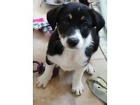 Male border collie puppy 9 weeks old ready now
