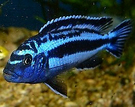 "Looking for electric blue ""mainganos"" elongatus and solousi"