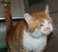 "Adult Male Cat - Tabby - Orange-Domestic Short Hair-white: ""Ted"""