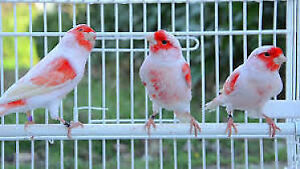 CANARIES AND CAGES/CAGES ET CANARIS A VENDRE