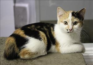 "Baby Female Cat - Domestic Short Hair: ""Madi"""