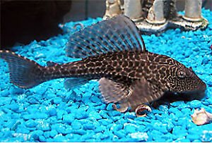 Looking for a Pleco (Algae eater)