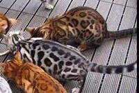 Looking for two Bengal kittens