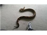 Red tail snake+ 4x2x2 setup